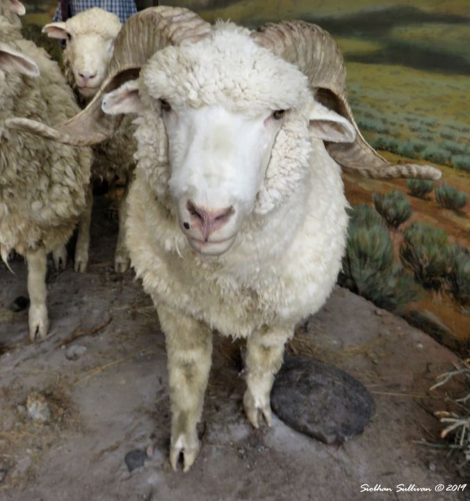 Sheep on the Trail, Oregon Interpretive Center, Baker City 24October2018