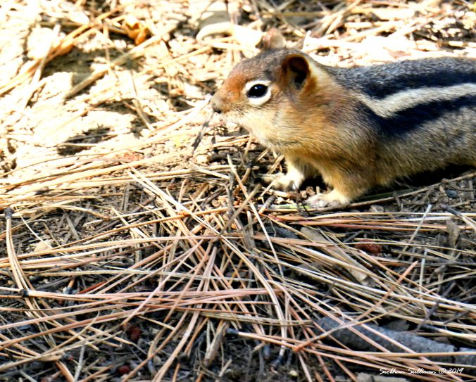 Candids of critters. Ground squirrel, Bend, Oregon