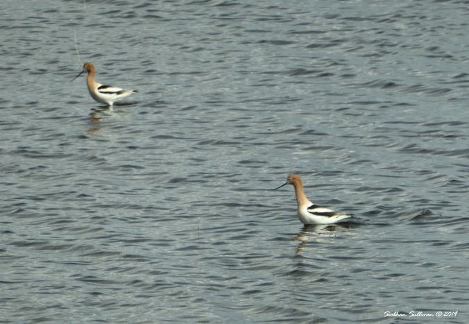 With two you can go in the same direction. American avocets near Malheur NWR, Oregon 2019
