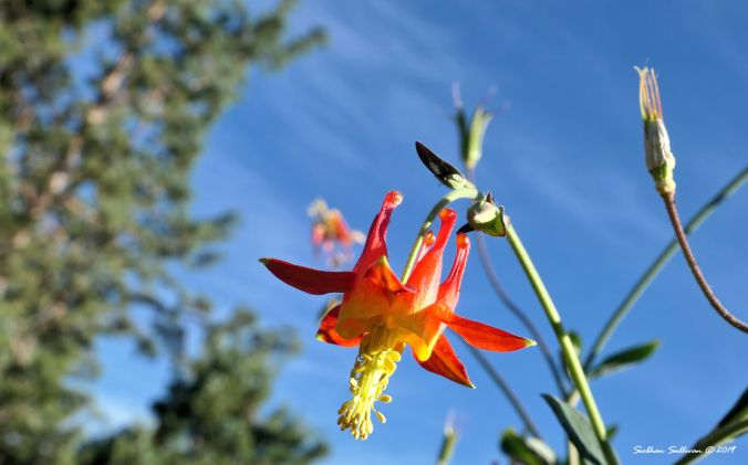 A fiery western columbine flower in Bend, Oregon June2019