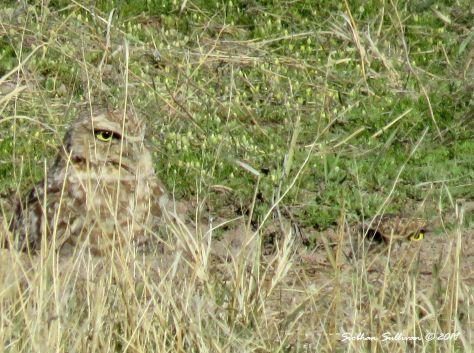 Burrowing owl pair, Malheur NWR, Oregon April 2017
