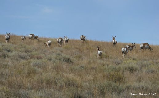 Pronghorn herd at Hart Mountain, Oregon August 2019