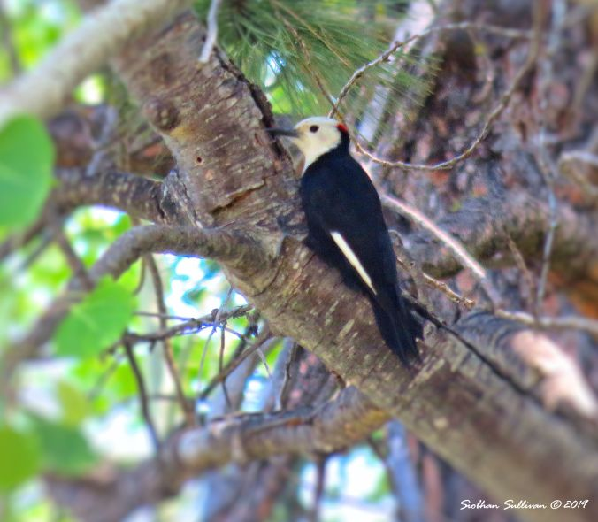 White-headed woodpecker in Aspen, Sisters, Oregon June 2016