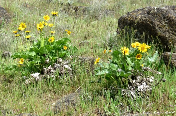 Balsamroot flowers near the Columbia Gorge 15April2017