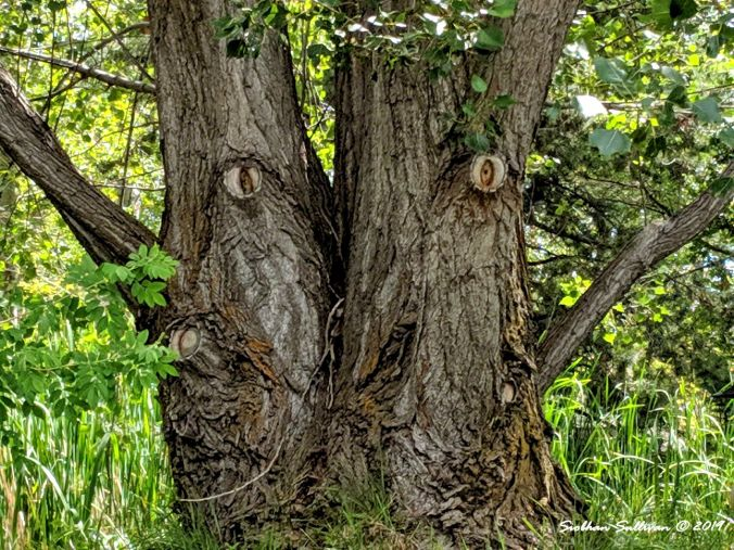 Tree with eyes, Bend, Oregon 10July2019