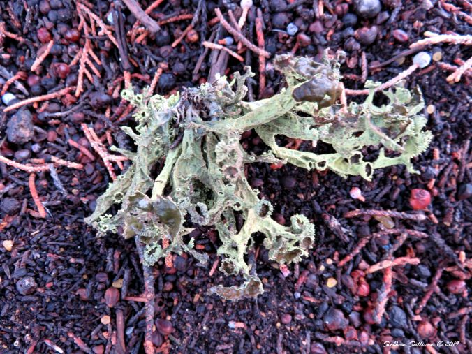 Brown-eyed wolf lichen 27 March 2019