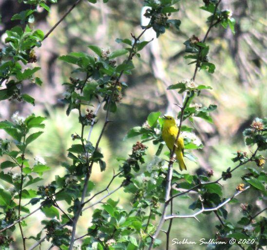 Keeping our distance, Yellow warbler, Camp Sherman, Oregon 3 June 2016