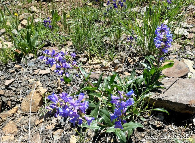Penstemon at Hells Canyon Overlook, Oregon 4 June 2019