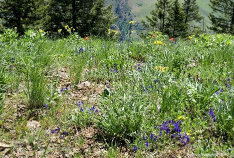 Wildflower meadow at Hells Canyon, Oregon 4 June 2019