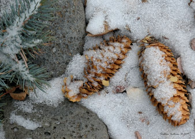 Spruce cones in snow
