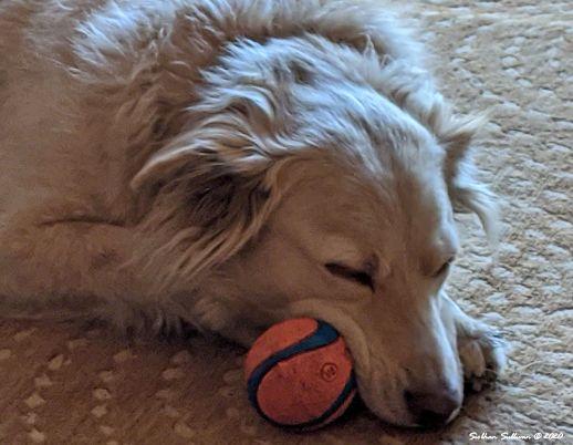Tuckered out dog, Bend, Oregon 8 April 2020