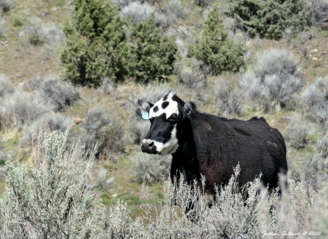 A cow with character at Glass Buttes, Oregon 28April2020