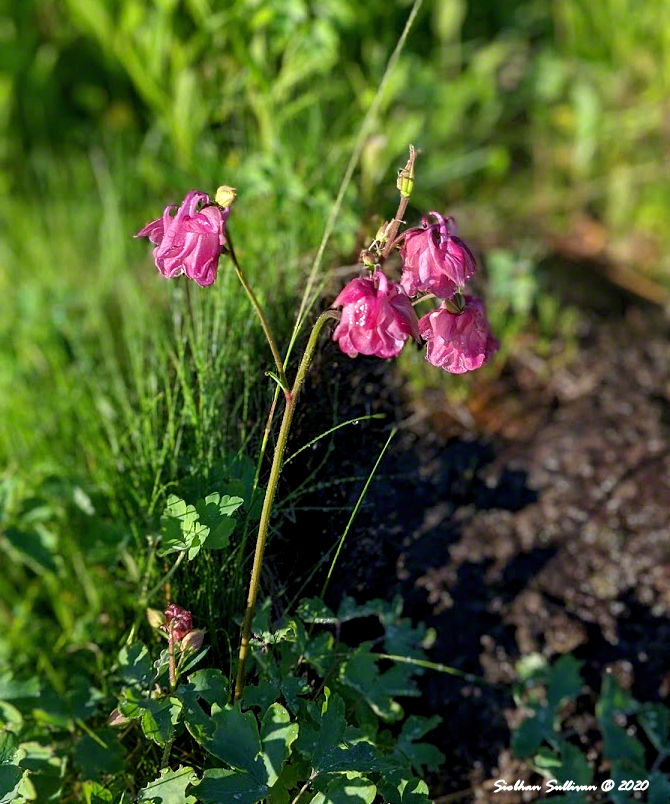 Portrait of flowers in Bend, Oregon June 2020