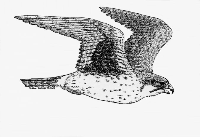 Prairie falcon pen-and-ink by Siobhan Sullivan
