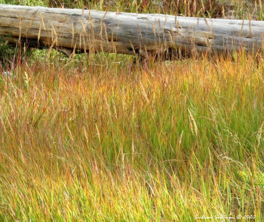 Gold and green grasses in Oregon September 2016