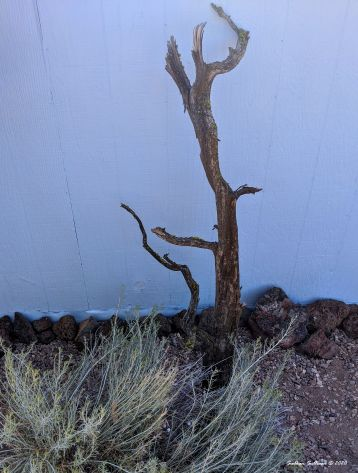 Juniper branch, rabbitbrush, & rocks near Bend, Oregon August 2020
