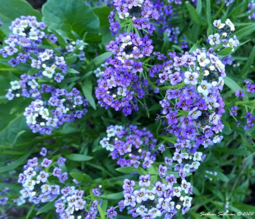 sweet alyssum up close