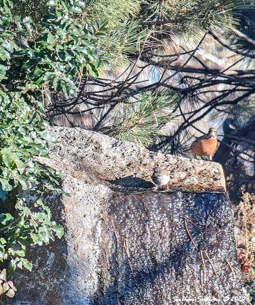 Hermit thrush & American robin