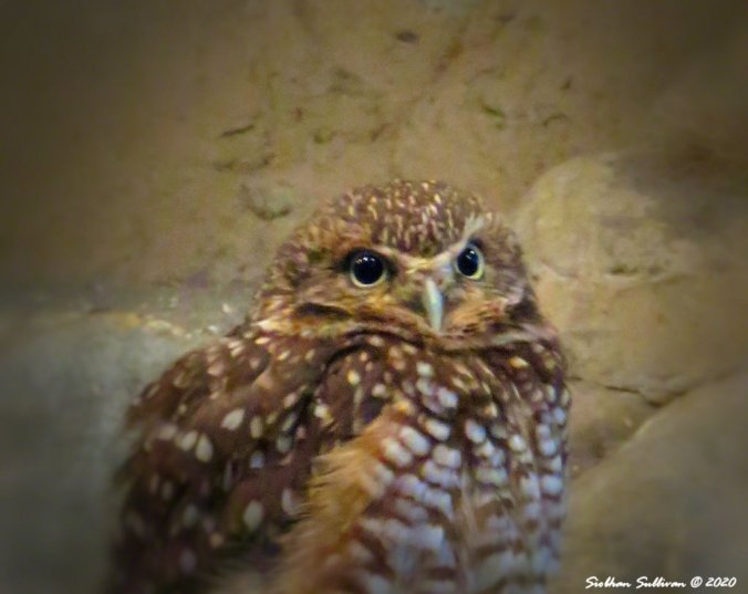 Burrowing owl vignette