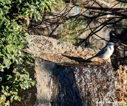 backyard birding adventures - scrub-jay near Bend