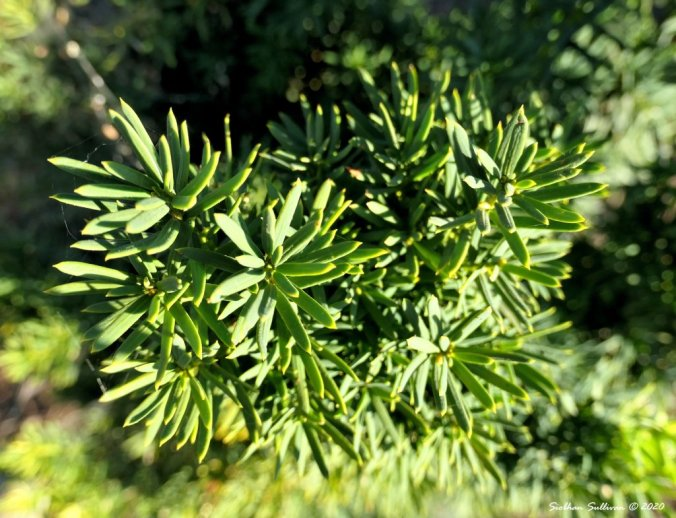 Yew branches August 2020