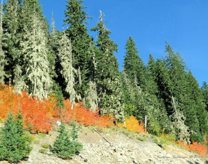 Autumn leaves on Mount Hood Highway September 2020
