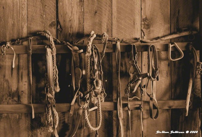 Halters & bridles at Fort Rock, Oregon  November 2020