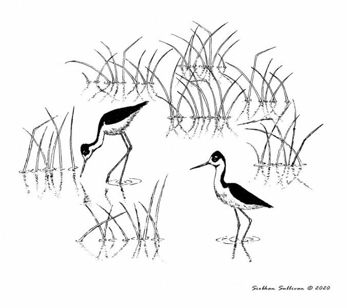 Black-necked stilt by Siobhan Sullivan 2020