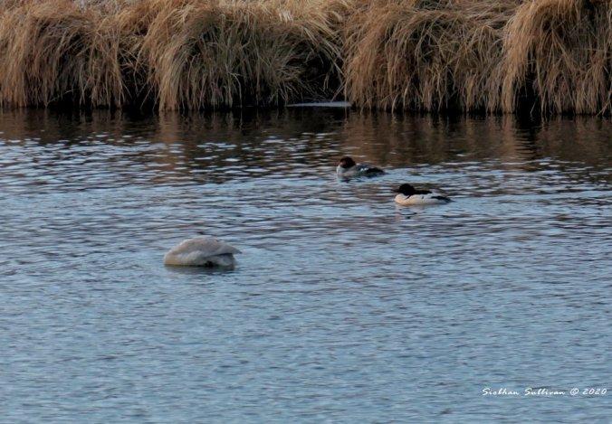 Trumpeter swan & common mergansers December 2020