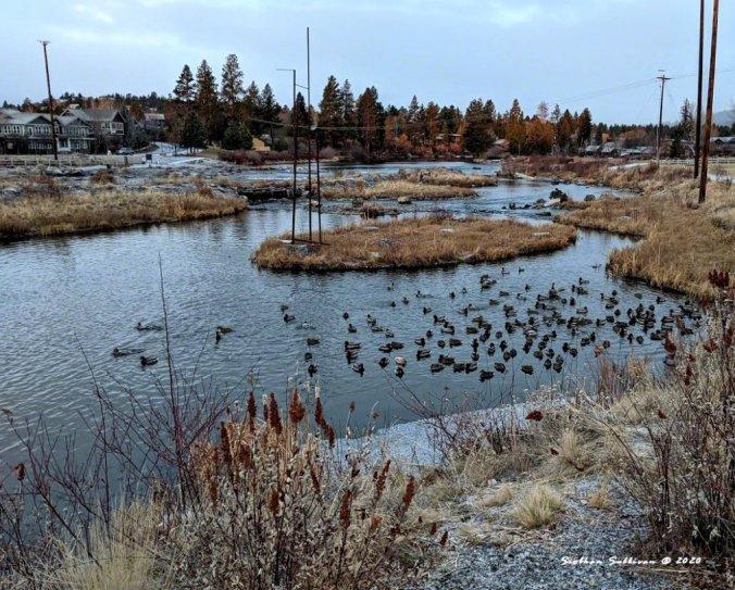 Waterfowl on the Deschutes River December 2020