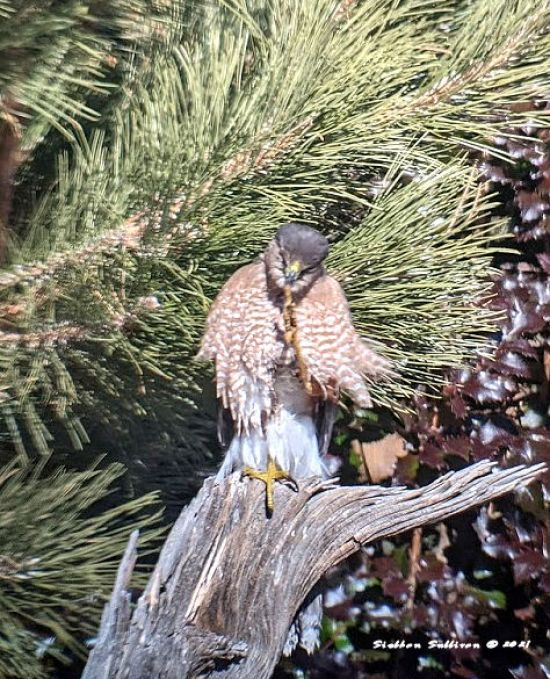 Hawk trimming its talons