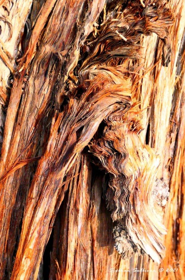 Rough & rippling bark of juniper