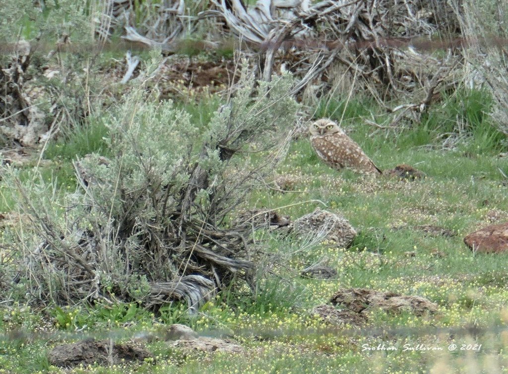 Burrowing owl near Malheur NWR April 2018