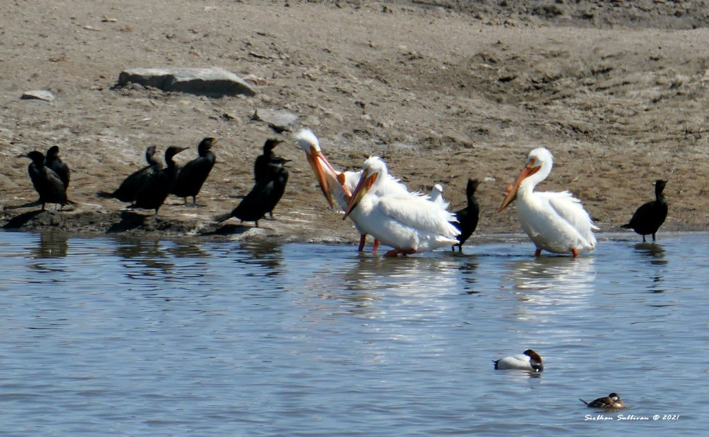 White pelicans, cormorants near Malheur April 2021