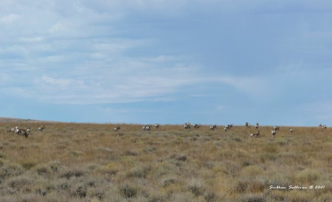 A herd at Hart Mountain