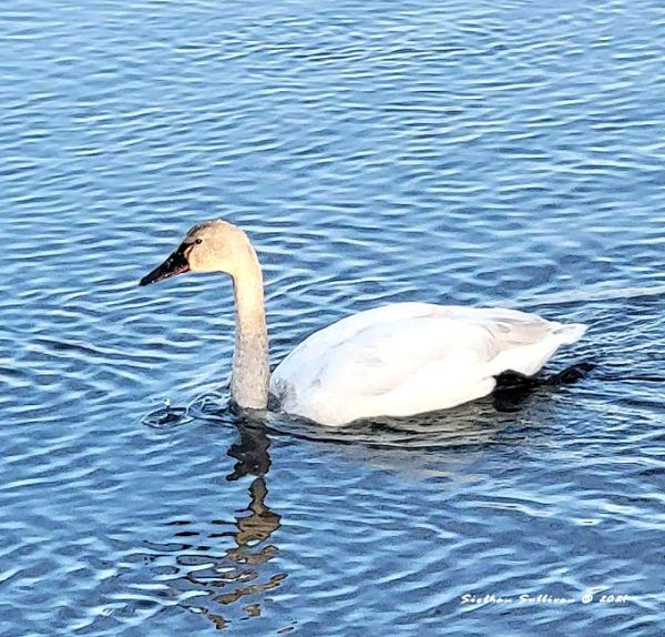 Tundra swan in Bend, Oregon