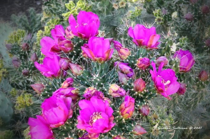 Pink flowers of Cholla cactus
