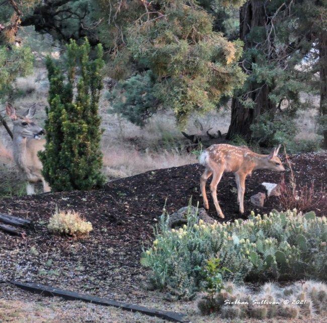 Baby deer in garden
