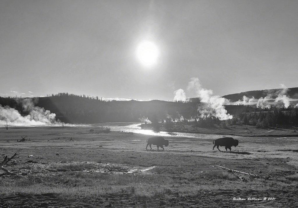 Creatures of the mist - bison