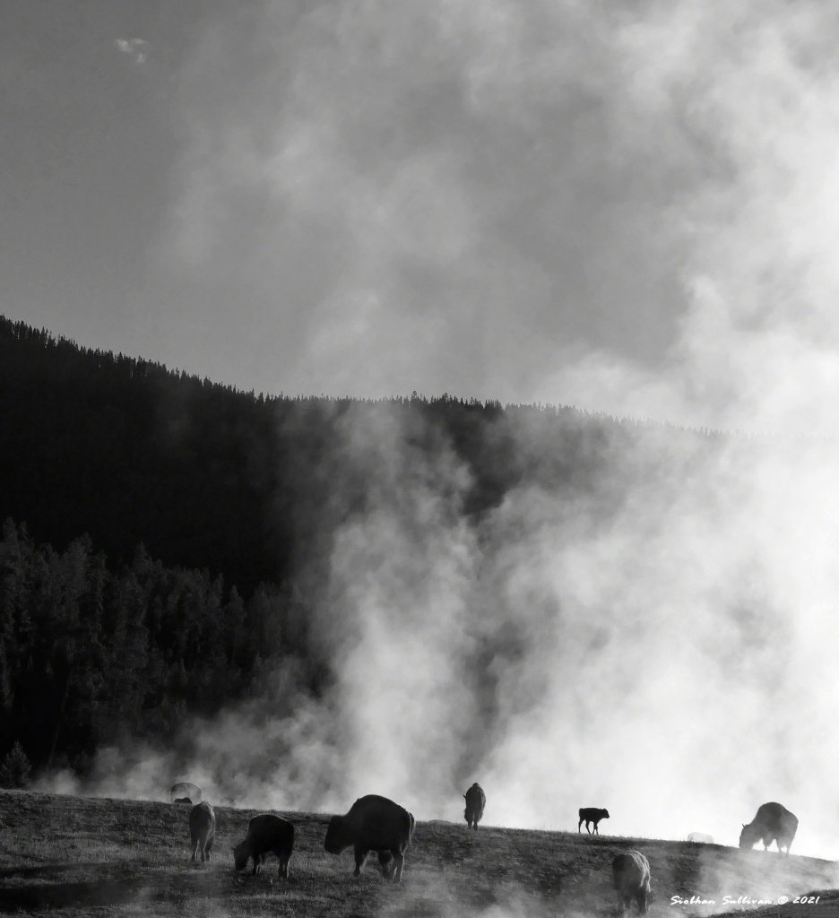 Bison in steam at Yellowstone