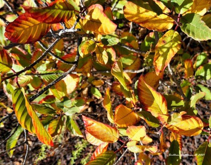 Autumn cascara