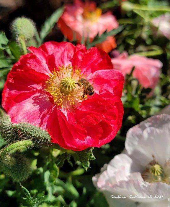 Poppies & honeybees