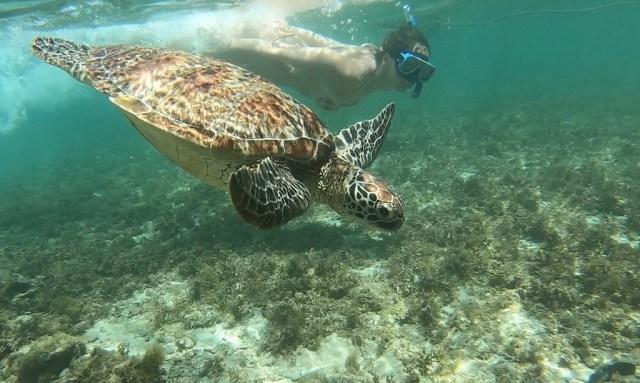 Touristen schnorchelt bei Apo Island neben einer Meeresschildkröte