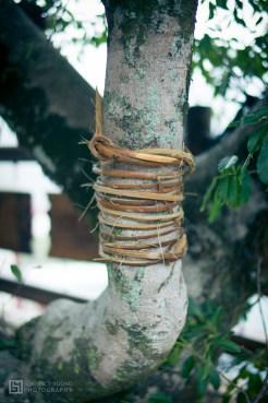 Mayasvi, yono trees
