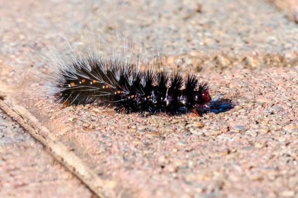 New Orleans caterpillar