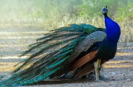 সঙ্কিপ্ত রচনা : ময়ূর | 10 lines on Peacock in Bengali |  10 lines on Peacock in Bengali for class 2