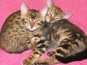 Happy Families – Bengal Kitties and Cats