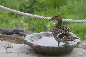 Gräsand, hona I fågelbadet igår morse.