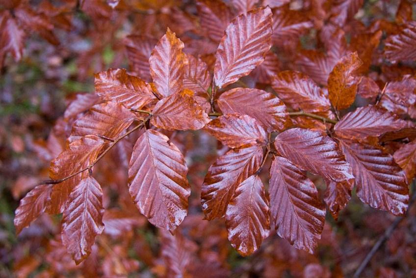 Regnvåta blad av trädet bok. Gäddeholm 20 november 2011.