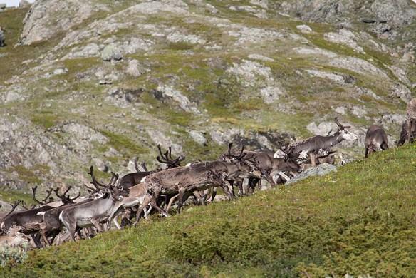 Renar på Murfjället. 31 juli 2012.